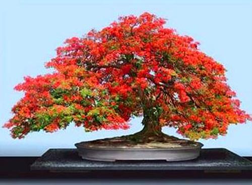 Красивый бонсай с красной листвой