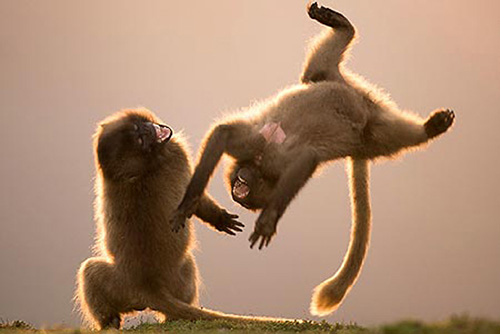 Фотография дерущихся обезьян