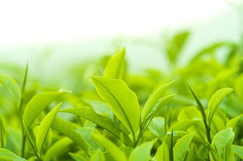 фотография свежего чайного листа