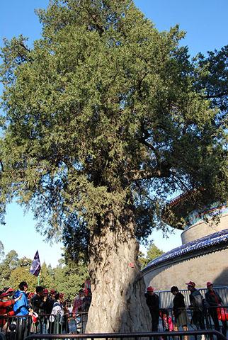 Фотография огромного дерева