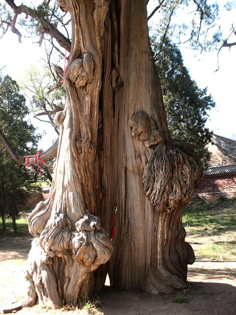 Фотография ствола дерева желаний