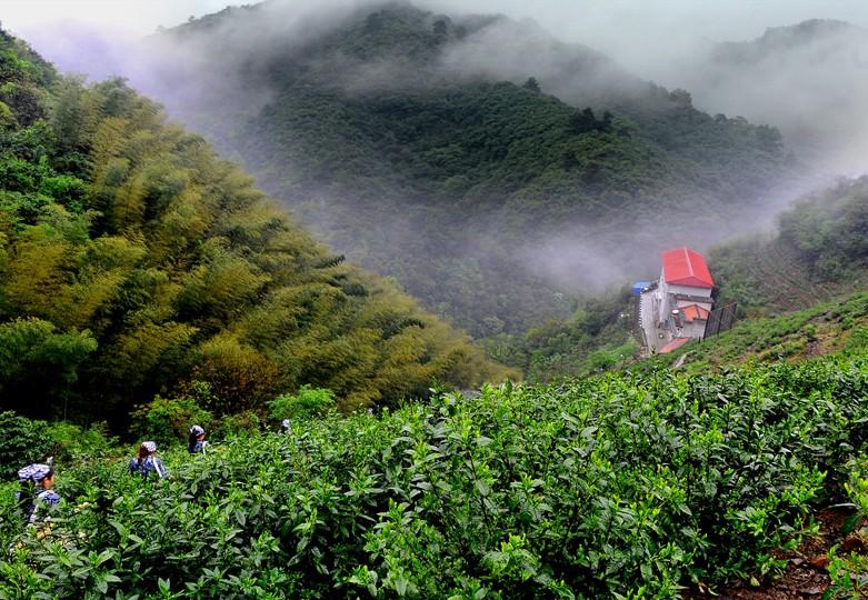 сбор чая маофэн