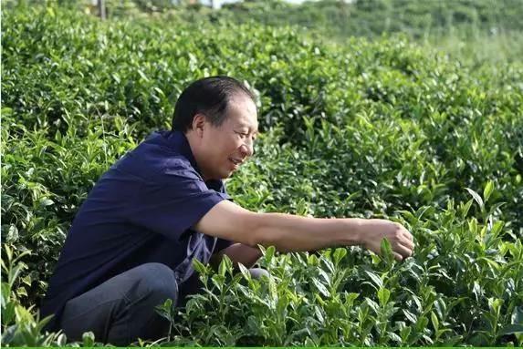 проба листьев чая